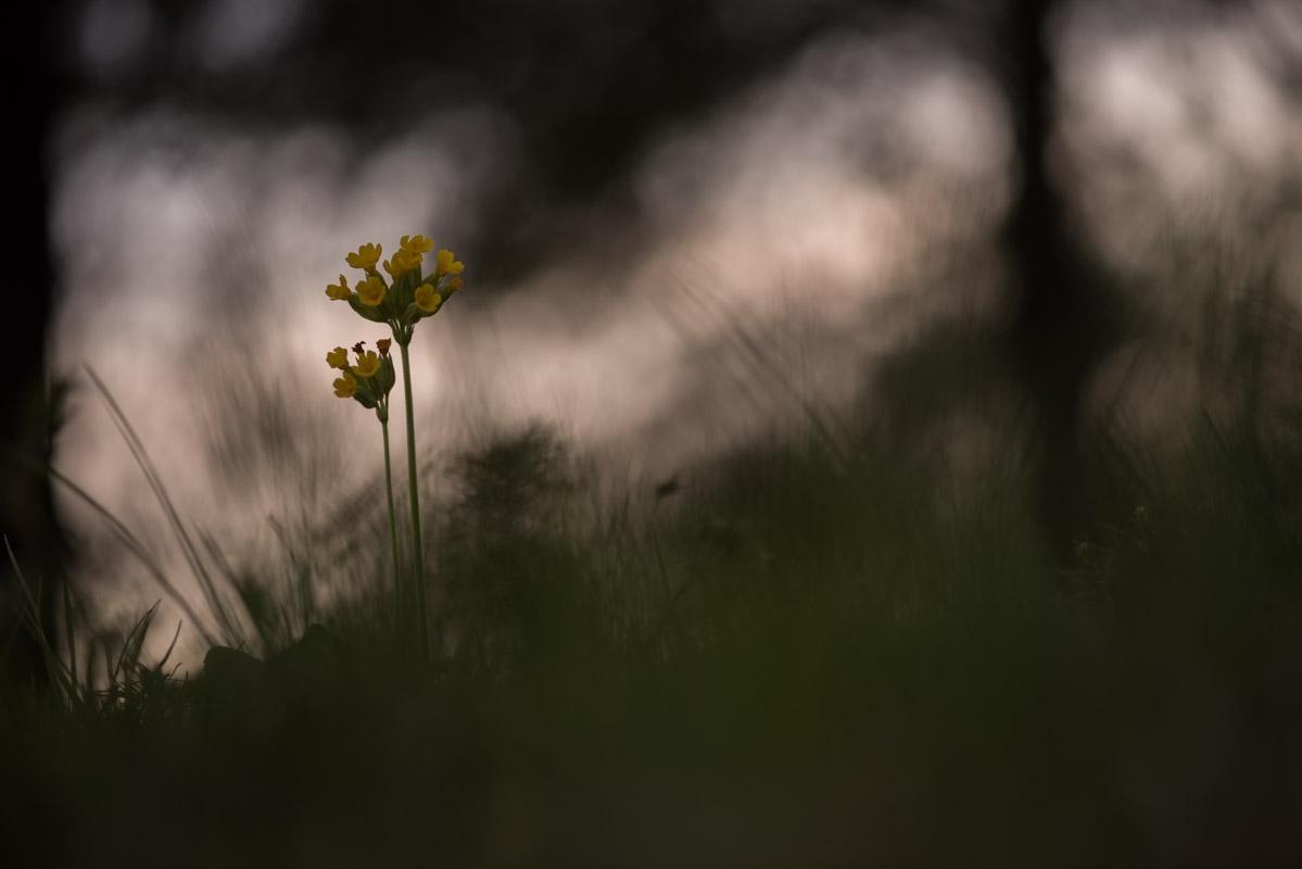 Echte Schlüsselblume (Primula veris)