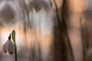Frühlings-Knotenblume, Leucojum vernum