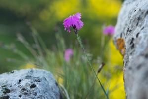 Pfings-Nelke, Dianthus gratianopolitanus