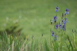 Sibirische Schwertlilie (Iris sibirica)