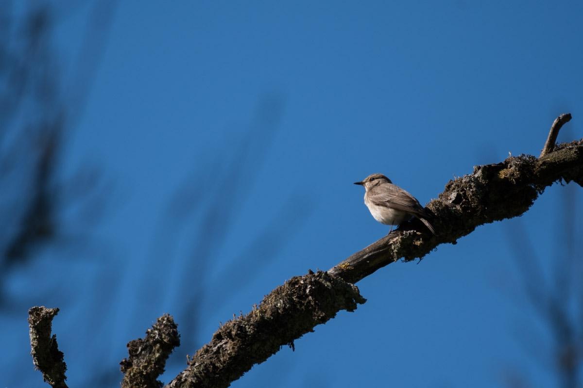 Grauschnäpper (Muscicapa striata)