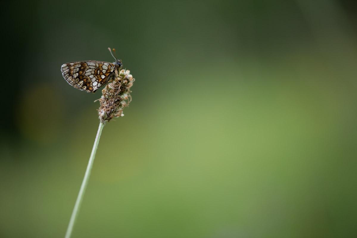 Östlicher Scheckenfalter (Melitaea britomartis)