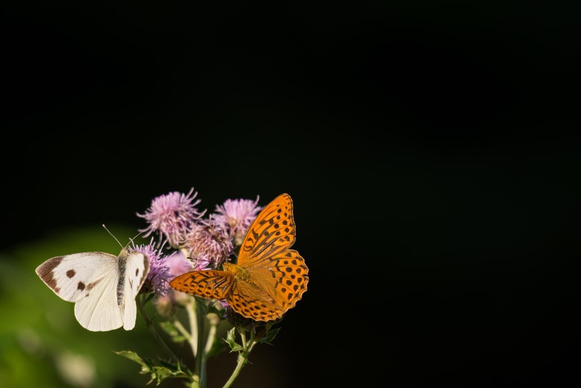 Kaisermantel (Argynnis paphia) Großer Kohlweißling (Pieris brassicae)