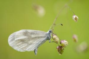 Senfweißling, Tintenfleck-Weißling, Leguminosen-Weißling (Leptidea sinapis)