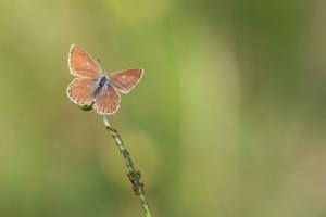 Silbergrüne Bläuling (Polyommatus coridon)