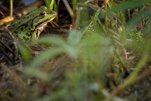 Teichfrosch (Rana esculenta)