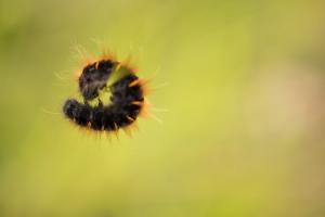 Brombeerspinner (Macrothylacia rubi) Raupe