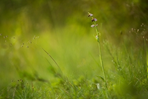 Hummel-Ragwurz, Ophrys holoserica