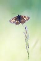 Wachtelweizen-Scheckenfalter, Melitaea athalia