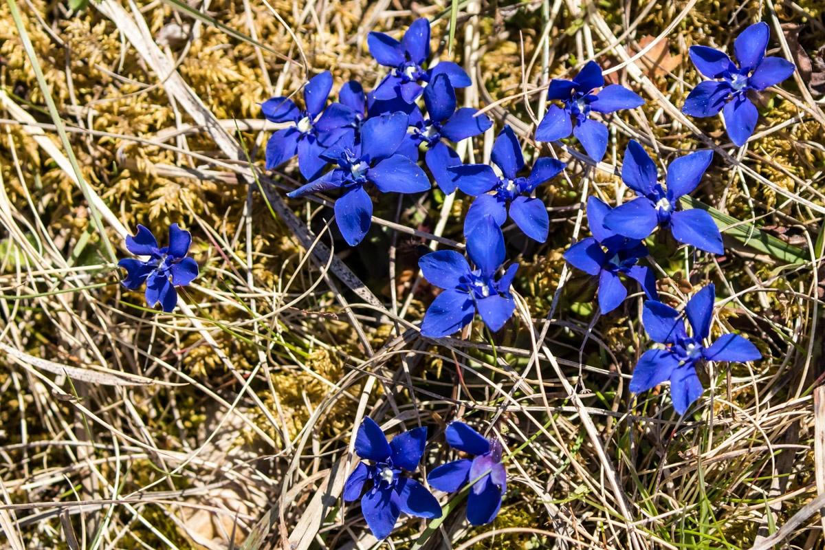 Frühlings-Enzian - Gentiana verna