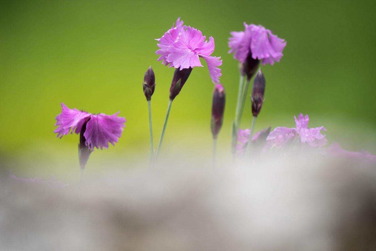 Pfingsnelke (Dianthus gratianopolitanus)