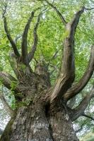 Hainbuche (Carpinus betulus)