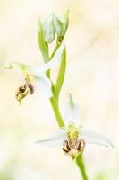 Bienen-Ragwurz (Ophrys apifera)