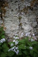 Mondraute oder Silberblatt vor Fels
