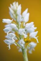weiße Variante des Helm-Knabenkrautes (Orchis militaris) mit Veränderlicher Krabbenspinne (Misumena vatia)