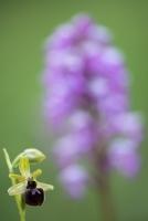 Spinnen-Ragwurz, Ophrys sphegodes, im Hintergrund Helmknabenkraut, Orchis militaris