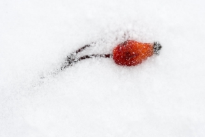 Hagebutte im Schnee