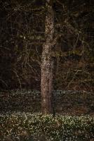 Märzenbecher (Leucojum vernum)