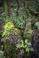 Stinkender Storchschnabel und Wechelblättriges Milzkraut im Hangschluchtwald