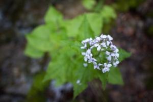 Ausdauerendes Silberblatt (Lunaria rediviva)