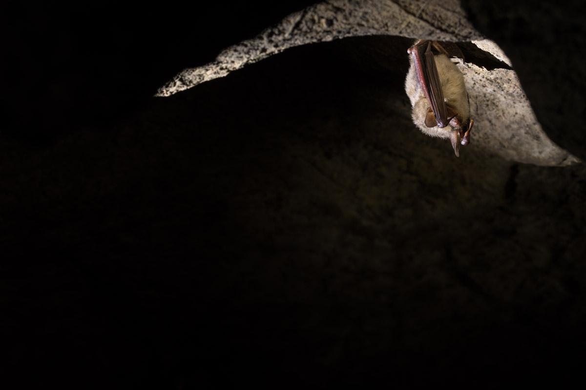 Großes Mausohr (Myotis myotis)