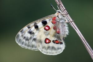 Roter Apollo, Parnassius apollo
