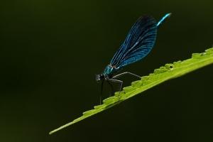 Blauflügel-Prachtlibelle, Calopteryx virgo