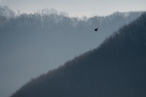 Kolkrabe, Corvus corax