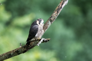 junger Wanderfalke, Falco peregrinus