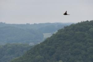 Wanderfalke, Falco peregrinus