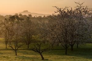 Obstbaumblüte mit Hohenneuffen