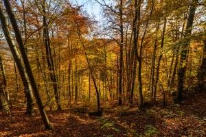 Herbstlicher Traufwald