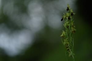 Spinnenragwurz