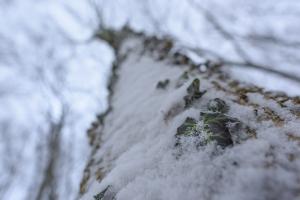 Winterliches Efeu