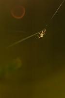 Spinne im letzten Abendlicht