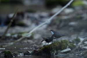 Balz der Wasseramsel