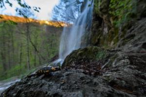 Feuersalamander am Uracher Wasserfall