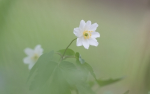 Buschwindröschen (Anemone nemorosa)