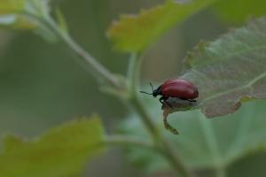 Pappelblattkäfer (Chrysomela populi)