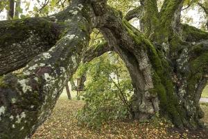 Waldstetter Linde