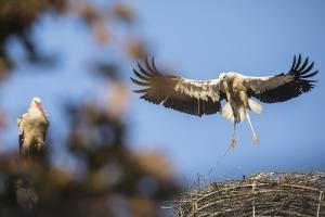 Weißstorch,erste Flugversuche