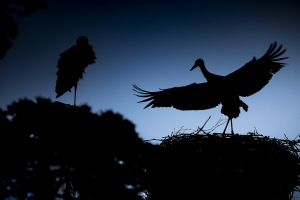 Weißstorch,Flugversuch zur Blauen Stunde