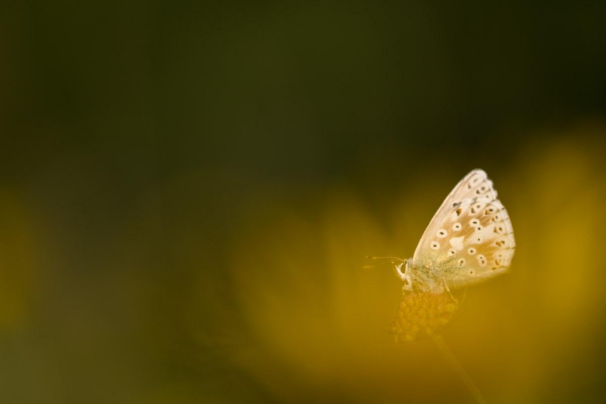 Silbergrüne Bläuling, Polyommatus coridon