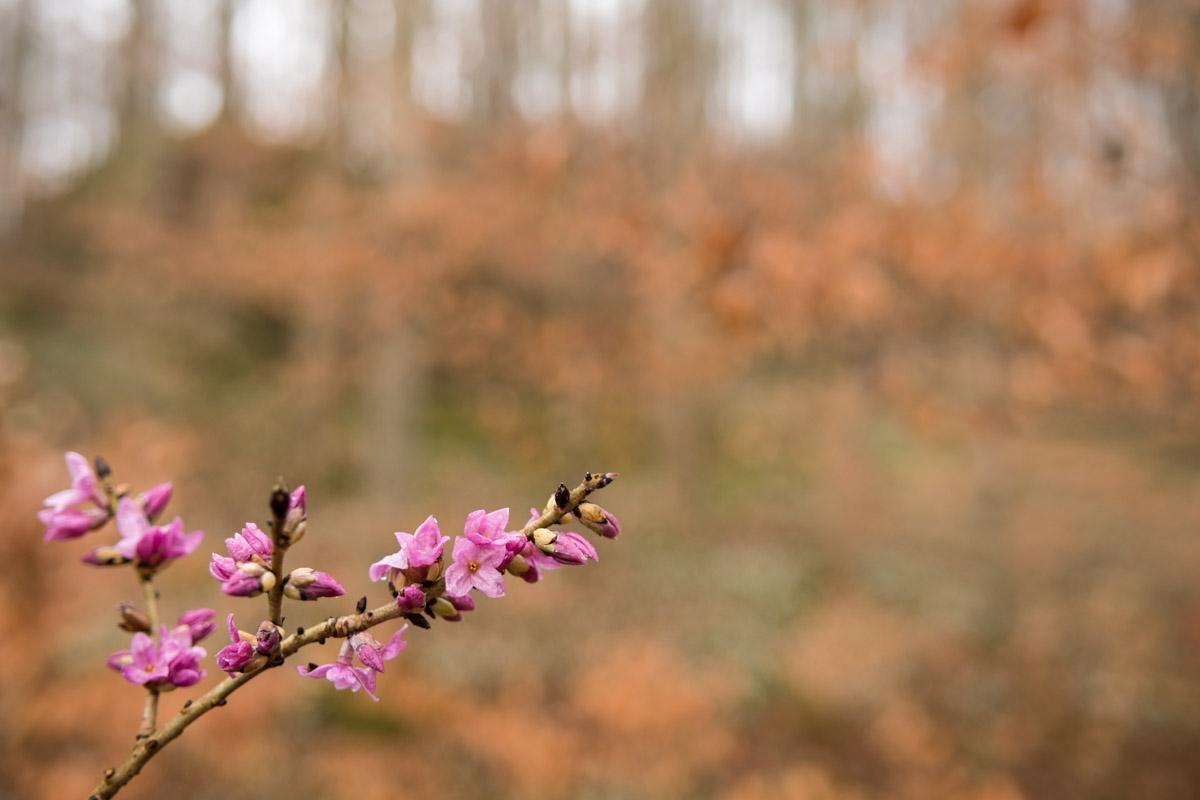 Seidelbast, Daphne mezereum im Eselsburger Tal