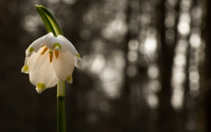 Frühlingsknotenblume (Leucojum vernum)
