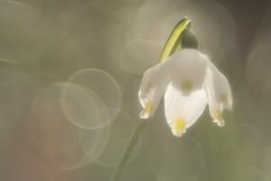 Frühlingsknotenblume ( Leucojum vernum) im Autal bei Bad Überkingen