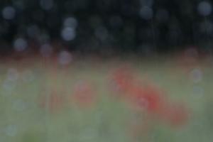 Klatschmohn (Papaver rhoeas) im Regen