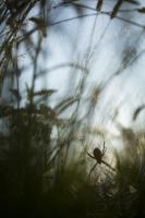 Wespenspinne Argiope bruennichi