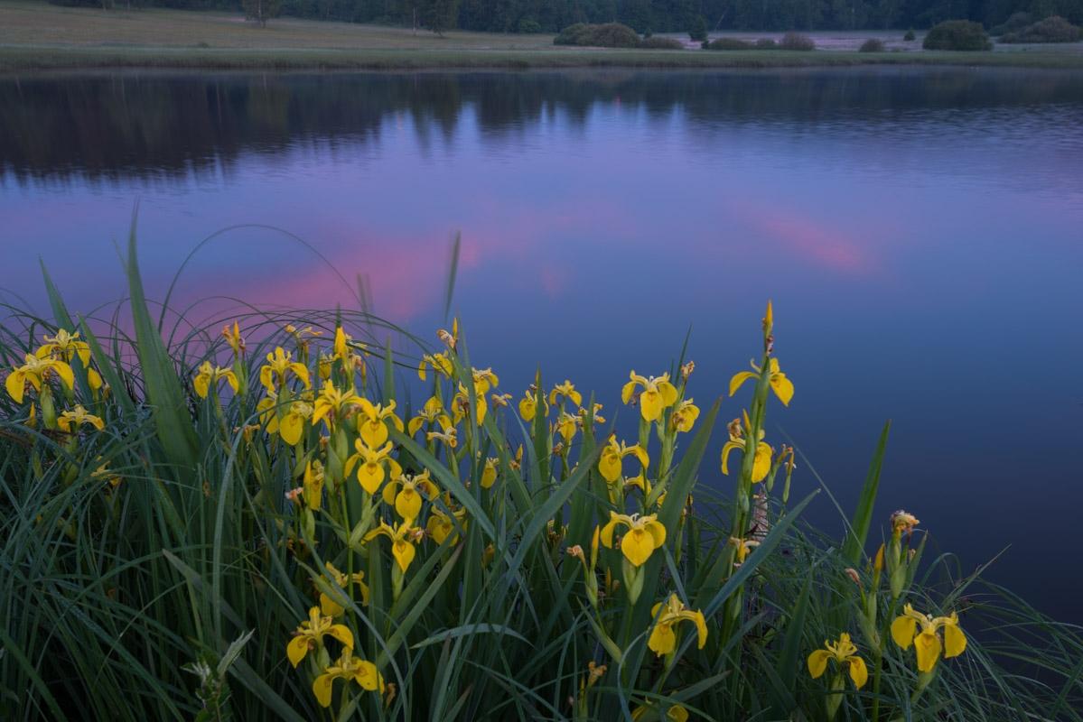 Sumpf-Schwertlilie (Iris pseudacorus)