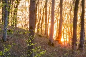 Sonnenuntergang im Buchenwald